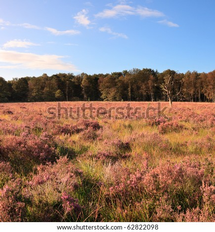 Heathland with tree under blue sky, the Netherlands