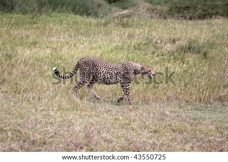 Heavily pregnant female cheetah patrolling her territory in the Serengeti national park, Tanzania