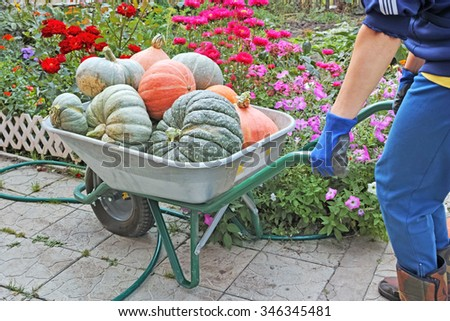 Heavy garden wheelbarrow with pumpkins and a woman