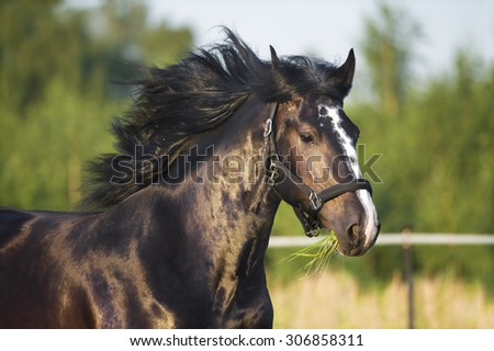 Heavy Vladimir draft horse runs gallop - stock photo