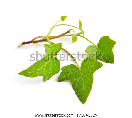 Hedera isolated on white background. - stock photo