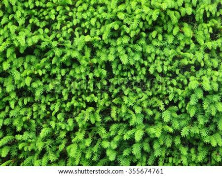 hedge - stock photo