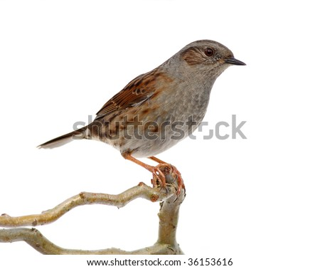 hedge accentor on a branch, on white - stock photo