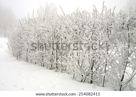 Hedge Cherry plum in the winter garden. Country garden in winter during  cloudy day. - stock photo
