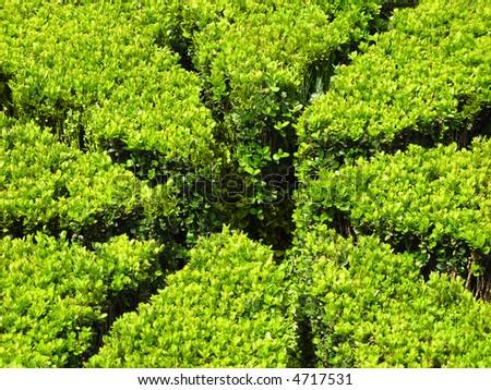 Hedge (close-up) - stock photo