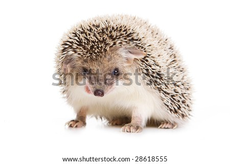 Hedgehod isolated on white - stock photo