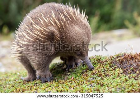 Hedgehog - stock photo