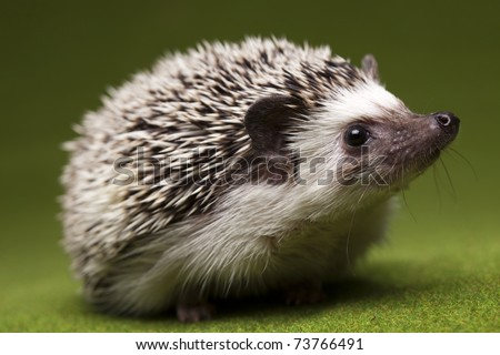 Hedgehog - stock photo