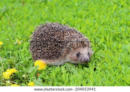 Hedgehog among dandelions close up