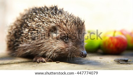 Hedgehog and apples on a wooden table