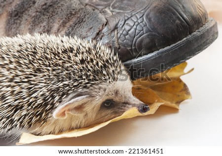 Hedgehog and boot - stock photo