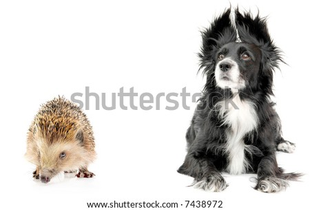 Hedgehog and dog  on a white background - stock photo