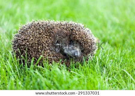 Hedgehog, Animal, Cute.