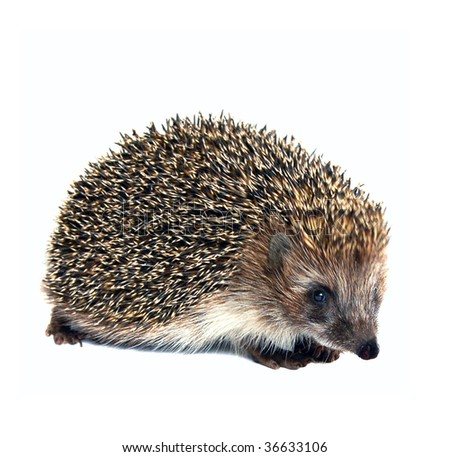 hedgehog animal isolated on white background - stock photo