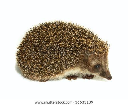 hedgehog animal isolated on white background - stock photo