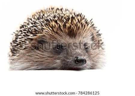 Hedgehog animals studio quality