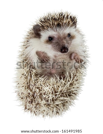Hedgehog (Atelerix albiventris) unfolds from the tangle - stock photo