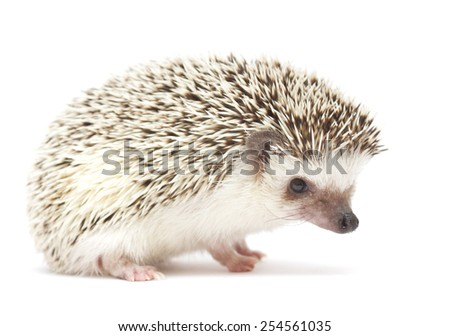 hedgehog baby white background