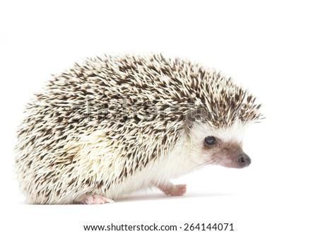 hedgehog baby white background - stock photo
