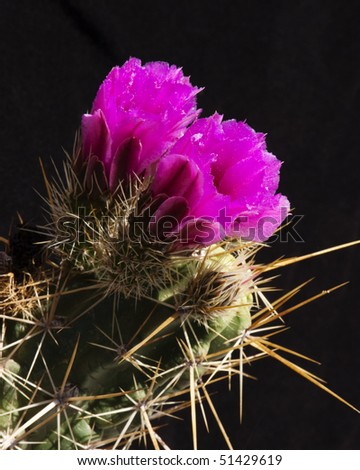 hedgehog cactus blossoms blooming in the Sonoran Desert - stock photo