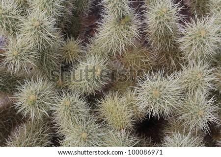 Hedgehog Cactus Closeup - stock photo