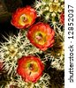 Hedgehog cactus (Echinocereus Engelman) in bloom in the Arizona  desert - stock photo