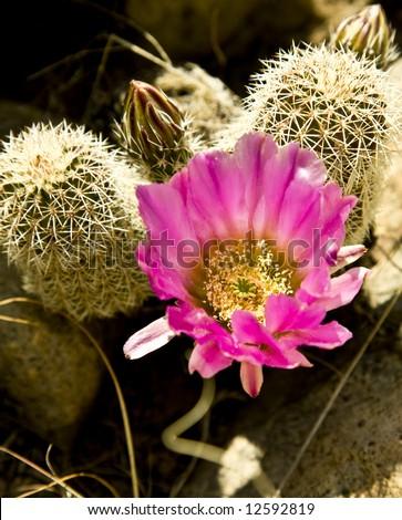 Hedgehog cactus (Echinocereus Engelman) in bloom in the Arizona desert. - stock photo