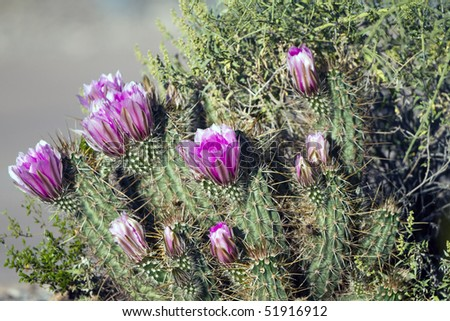 Hedgehog Cactus in bloom - stock photo