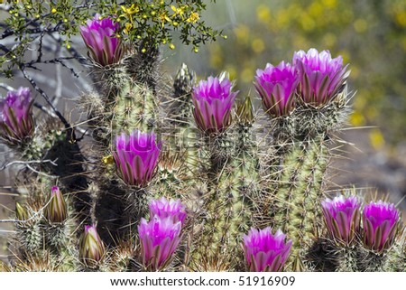 Hedgehog Cactus in bloom, with yellow Creosote flowers in background - stock photo