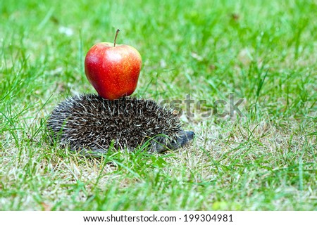 hedgehog carry red apple on the back - stock photo