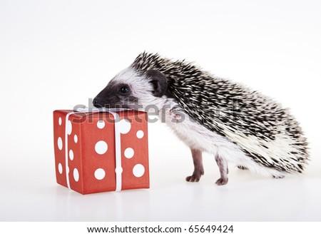 Hedgehog christmas, Santa Claus - stock photo