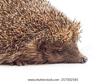 Hedgehog close-up isolated on white background. - stock photo