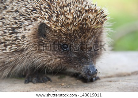 Hedgehog close up on a background of grass