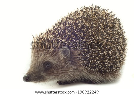 hedgehog close up on a white background