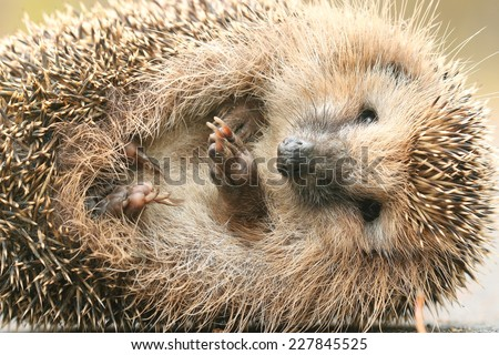 hedgehog close-up portrait