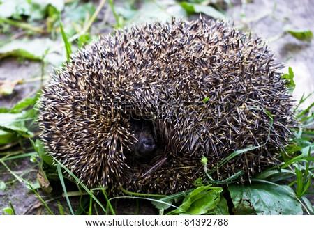 Hedgehog convolved by a ball - stock photo