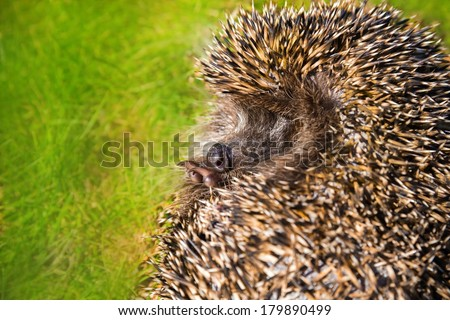 Hedgehog curled on the green grass.