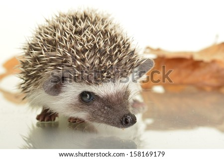 Hedgehog (erinaceus albiventris) isolated on white background.  - stock photo