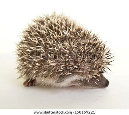 Hedgehog (erinaceus albiventris) isolated on white background.