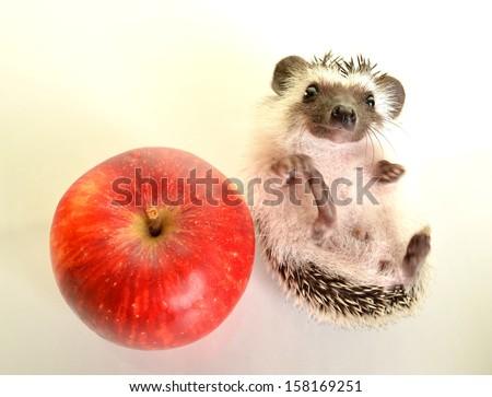 Hedgehog (erinaceus albiventris) isolated on white background.  - stock photo