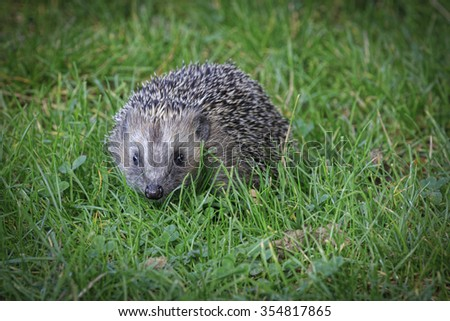 Hedgehog (Erinaceus europaeus) on grass close-up