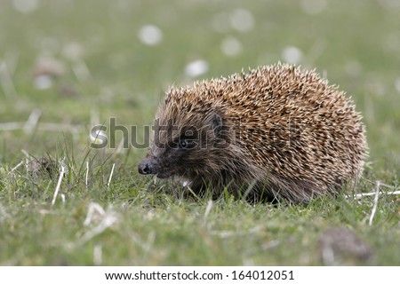 Hedgehog, Erinaceus europaeus, single mammal on grass, Scotland