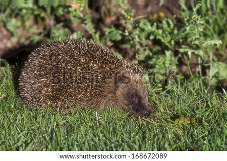 Hedgehog, Erinaceus europaeus, single mammal on grass, UK