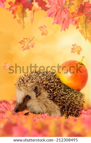 hedgehog (Erinaceus europaeus) with apple on his back in the autumn leaves - stock photo