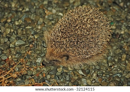 Hedgehog (erinaecinae) on wet gravel drive in a garden - stock photo