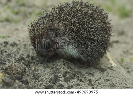 hedgehog goes on a footpath