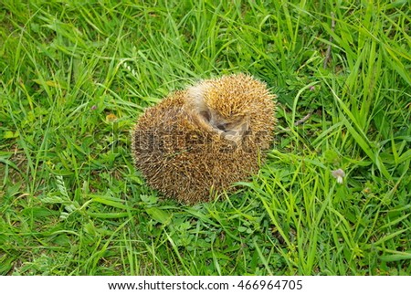Hedgehog green meadow.