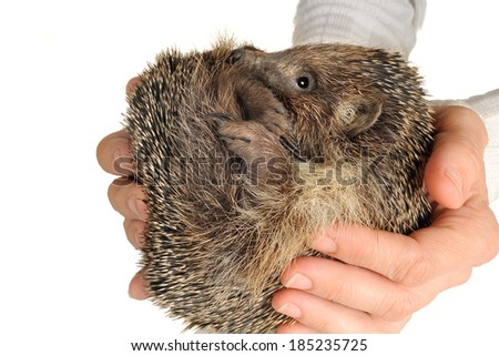 hedgehog  hands on a white background - stock photo