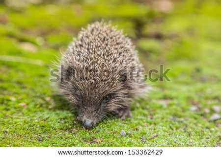 Hedgehog in a garden is looking for food