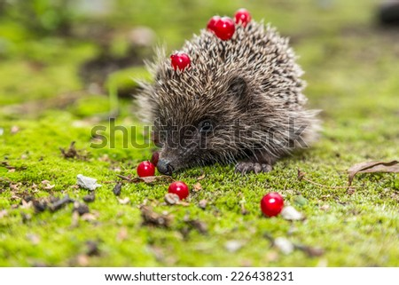 Hedgehog in a garden is looking for food - stock photo